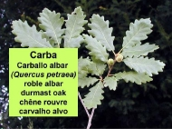 As árbores: a carba (Quercus petraea)
