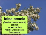 As árbores: a falsa acacia